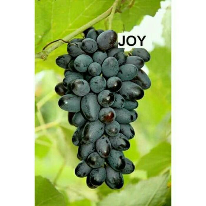 Bibit Anggur Impor Joy Sadles