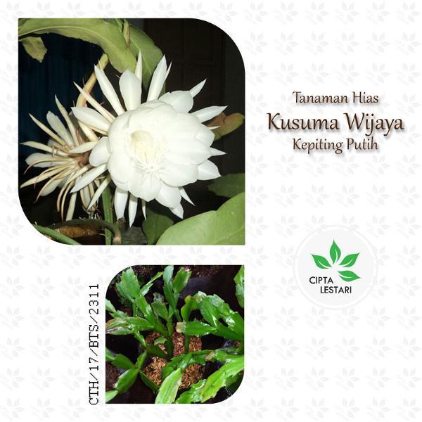 Tanaman Hias Wijaya Kusuma Kepiting Putih - Bibit Pohon Bunga Pot Gantung