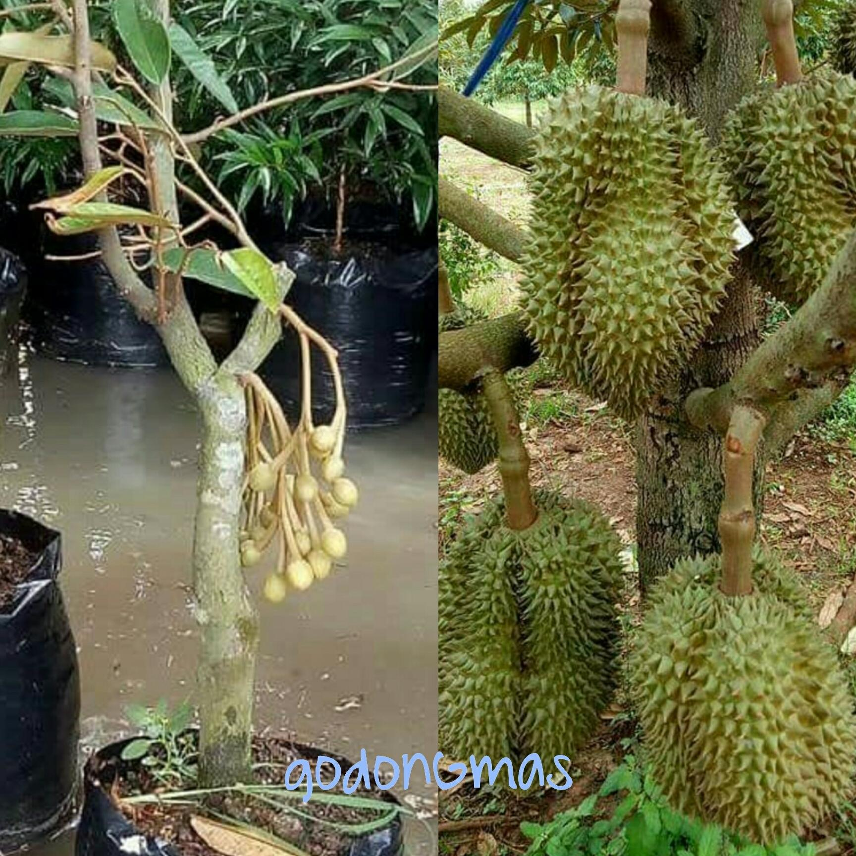 Bibit Durian Montong unggul
