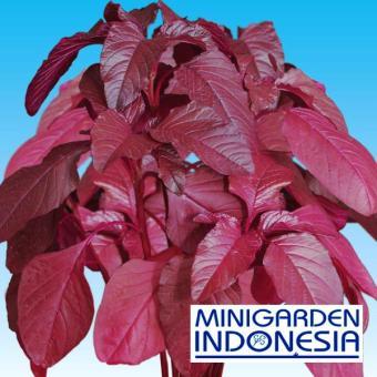 Bandingkan Toko 2500 Benih Bayam Merah Mira F1 bibit tanaman sayur sayuran hidroponik sale - Hanya Rp5.308
