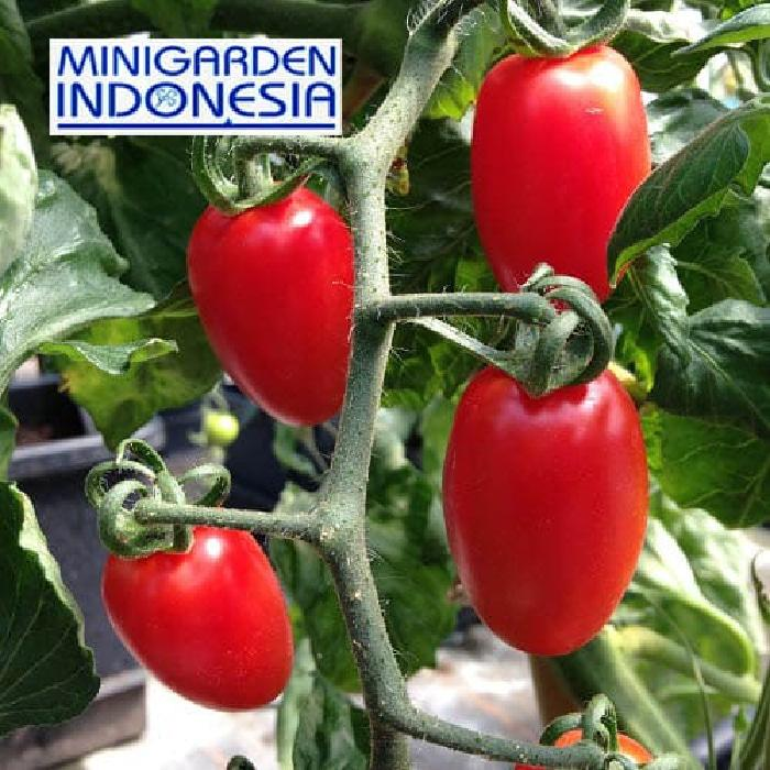 10 benih tomat cherry F1 import floridity bibit tanaman sayuan buah tomat ceri cerry merah