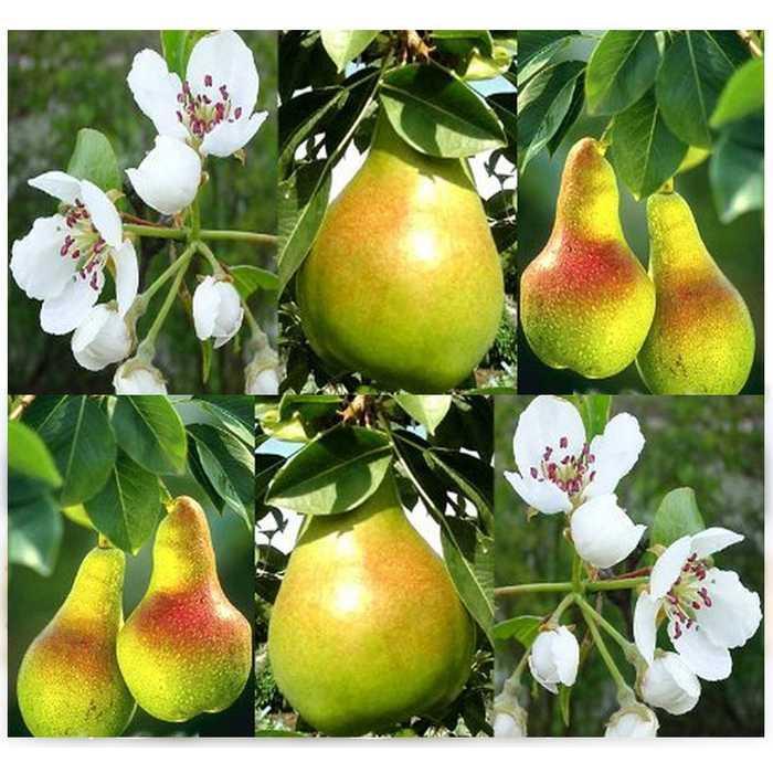 Best Seller!!! Bibit / Benih / Seeds Buah Pir Common Pear Import Grow Your Own Fruit Murah Cantik dan Elegant