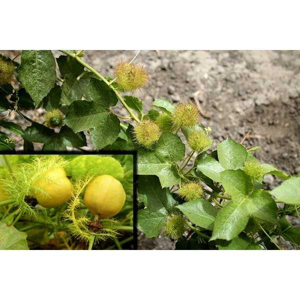 Best Seller!!! Bibit / Benih /Seed Buah Markisa Mini Kuning MIni Yellow Passion Fruit Unik Murah Minimalis