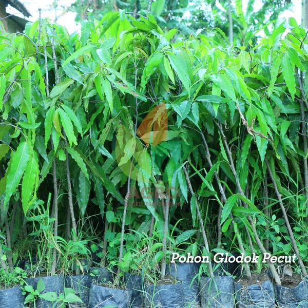 Bibit Pohon Glodok Pecut/Tiang