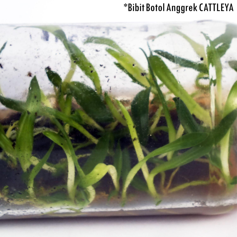Sumber Plastik - Bibit Bunga Anggrek CATTLEYA Anggrek Botol