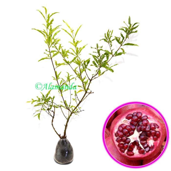 Victory Seed biji benih buah arbei merah import berisi 10 butir. Source · Gojiberry /