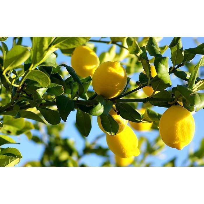 Bibit / Benih / Seed Buah Jeruk Lemon Import Unik Murah Minimalis