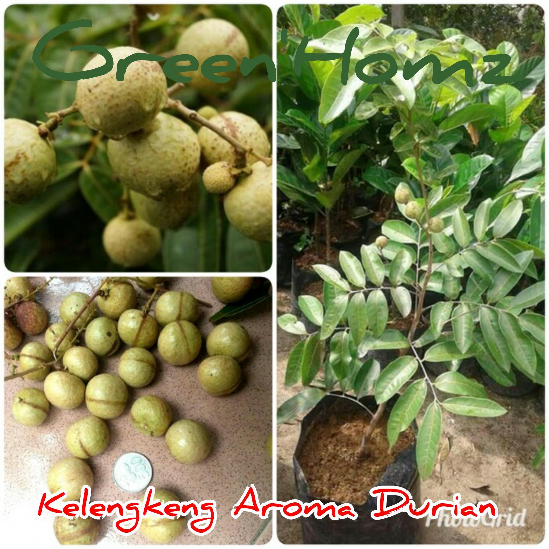 bibit buah kelengkeng aroma durian