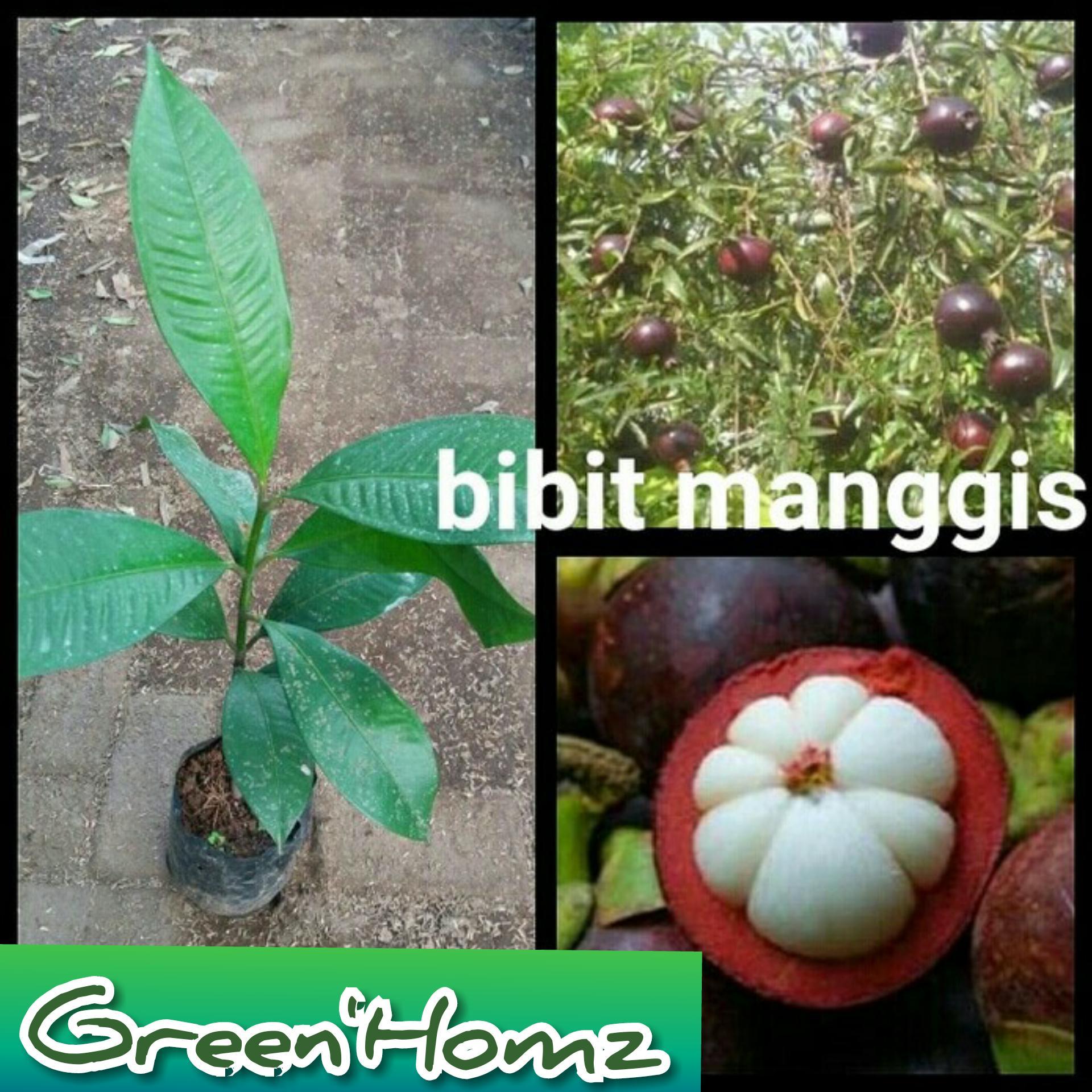 bibit buah manggis 40/50cm