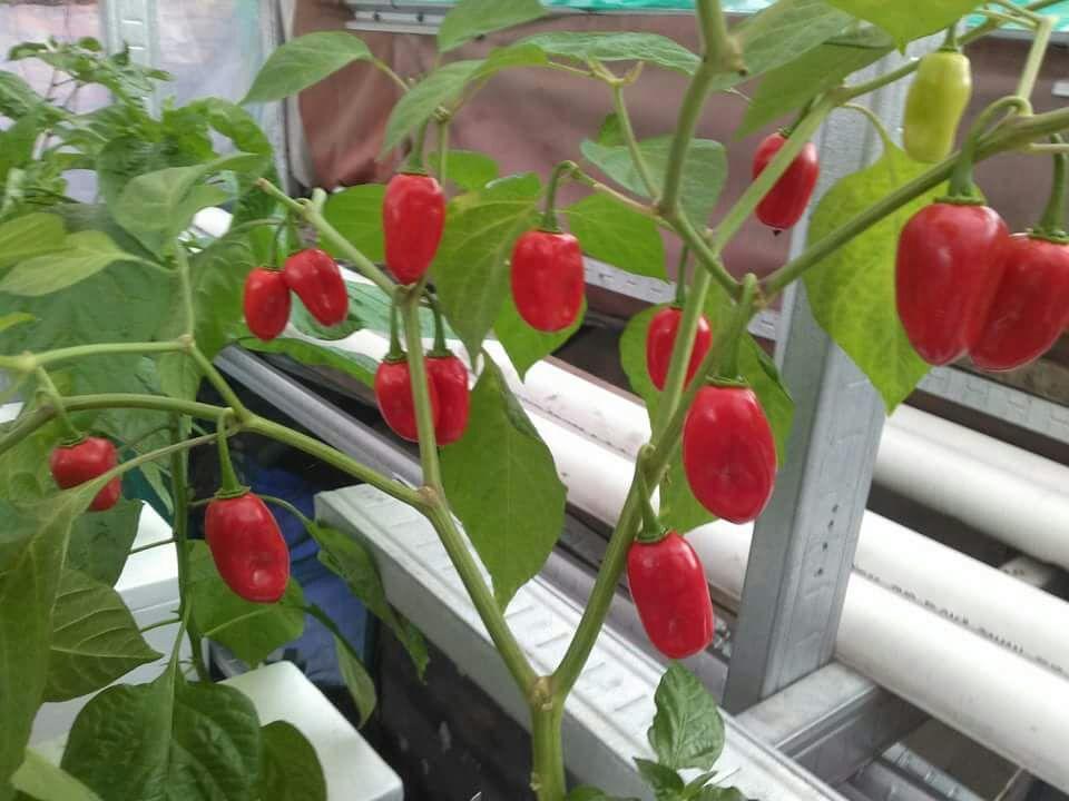 Amefurashi 10 Benih/Bibit/Seeds Apple Habanero Pepper Cabe Unik Mudah Tumbuh