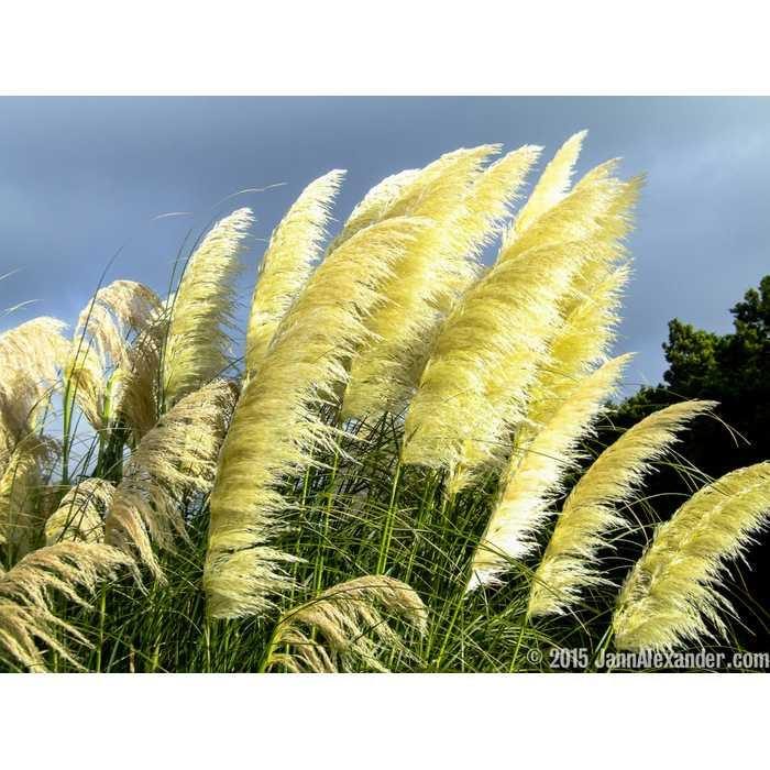 Benih / BIbit / Seed Yellow Pampass Grass Ornamental Grass Rumput Unik