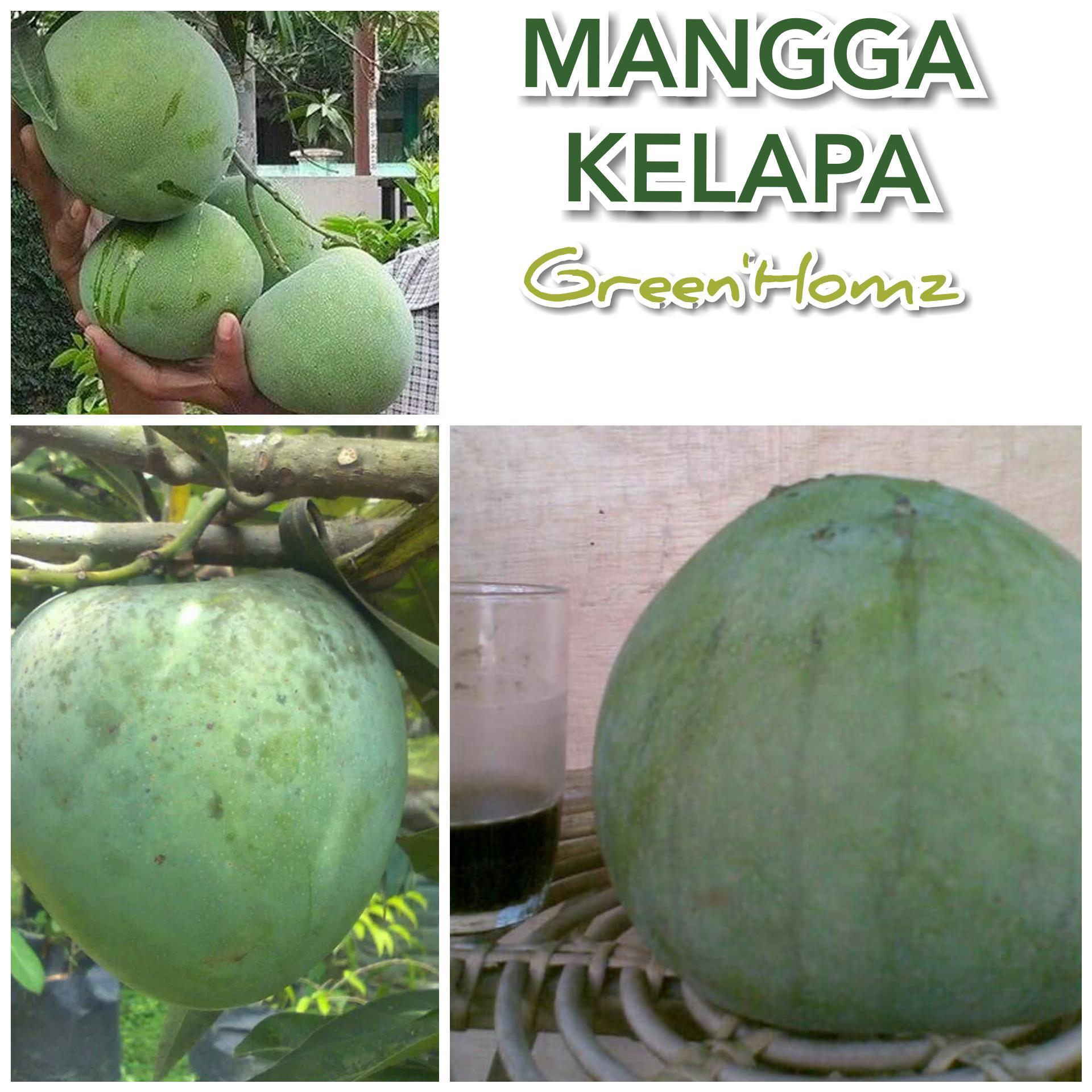bibit mangga kelapa