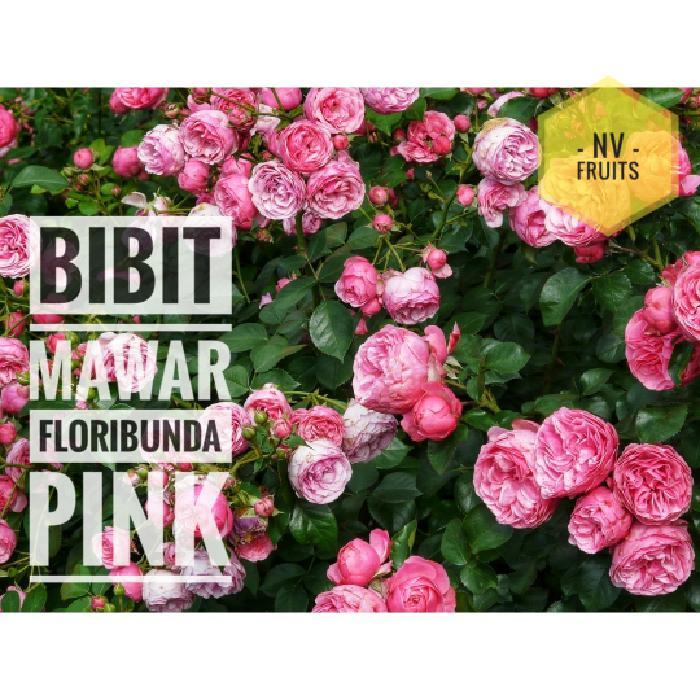 Bibit Bunga Mawar Floribunda Pink