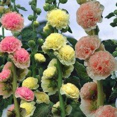 Amefurashi Benih / Bibit Hollyhock Summer Carnival Mix Bunga Musim Panas