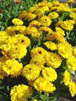 Amefurashi Benih Bunga Calendula Bon Bon Yellow - 2