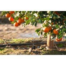 Amefurashi Bibit / Benih / Biji Buah Jeruk Sunkist Orange Sweet and Fresh Fruit Seed
