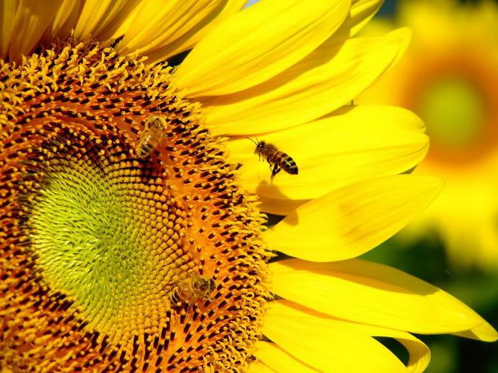 ... biji benih bunga matahari sunspot berisi 25 butir