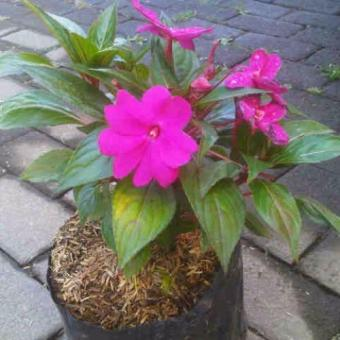 Harga Bibit Tanaman Purple Violet Impatiens