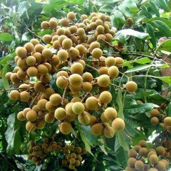 Bibit Tanaman - Bibit Kelengkeng Aroma Durian 40cm - 2