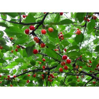 Miracle Fruit pohon buah ajaib Berkebun Hobi & Koleksi Source · Amefurashi Bibit Benih Seeds Buah
