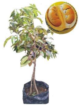 benih tanaman