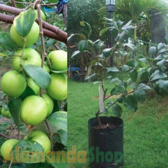 Biji Benih Buah Langsat Berisi 5 Butir. Source · Tanaman Putsa ( Apel India )