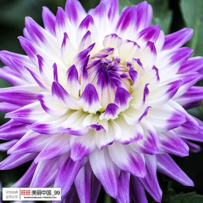 Isi 20 Butir Benih Bunga Dahlia Ras Jepang Yukako Dahlia Lazada Indonesia