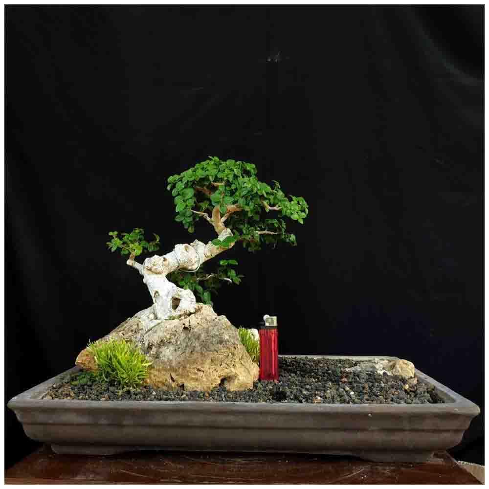 Tanaman Hias Bonsai Pohon Serut On The Rock Ori Alam Small