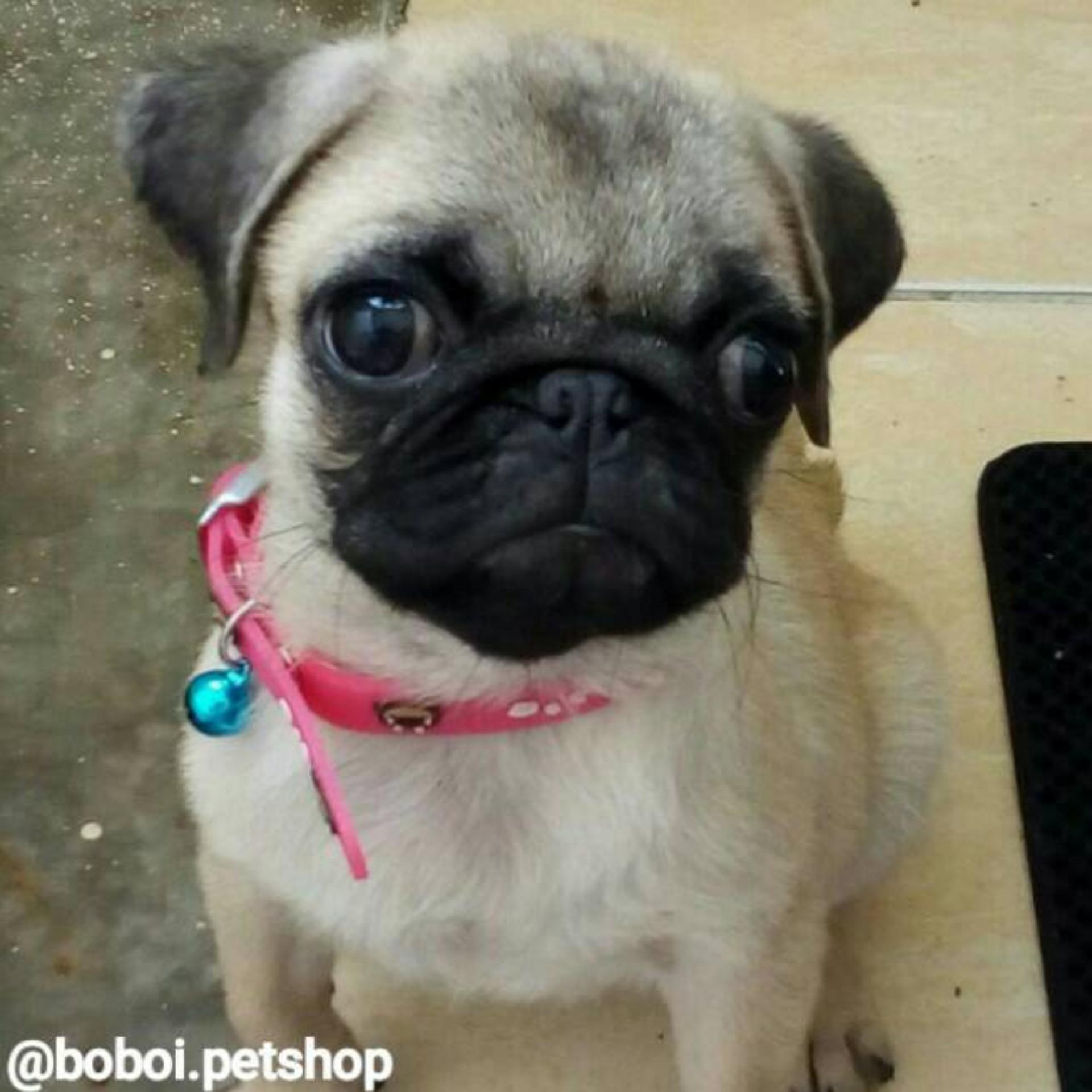Small Dog Collar (Doc) - Kalung Anjing - Kalung Kucing - KalungPuppy ...